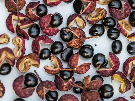 Szechuanpfeffer: eigene Ernte