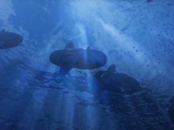 Zug der Mondfische