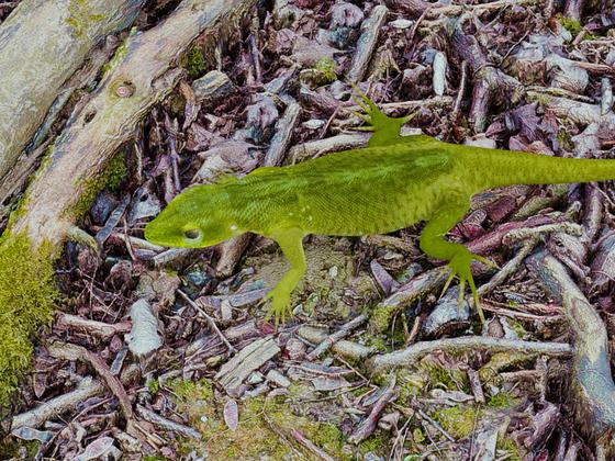 Lizard.1