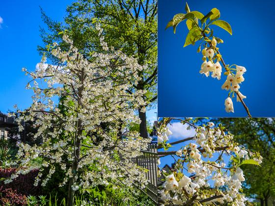 Unser Schneeglöckchenbaum in voller Blüte
