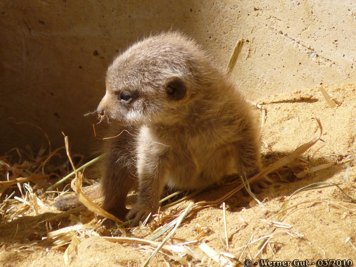 Kleines Erdmännchen - ganz groß
