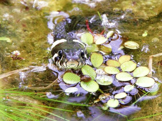 Sommergast am Teich